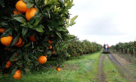 Mato Grosso: Vendita Arance